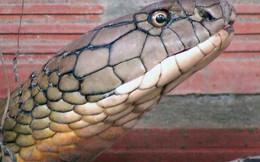 """Cận cảnh cặp rắn hổ mây """"khủng"""" nặng 60kg, dài 7m đầu to bằng nửa cục gạch vừa bắt được ở chân núi Cấm"""