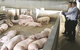 Giá lợn 'nhảy múa' theo sốt dịch