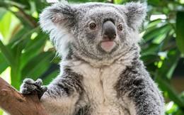 """Nước Úc tuyên bố gấu túi koala đã """"tuyệt chủng về mặt chức năng"""""""