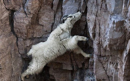 Tại sao dê leo núi giỏi thế?