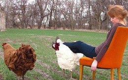 Người Mỹ đang chi cả nghìn USD mua gà về gác chân nhưng PETA không ý kiến gì