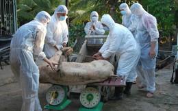 Con số đáng báo động: 11/13 tỉnh miền Tây nhiễm dịch tả heo châu Phi
