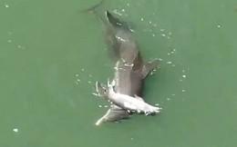 Cá heo ôm xác khác con đẩy lên mặt nước trong tuyệt vọng: Câu chuyện buồn chứng minh tình mẫu tử ở động vật là có thật