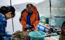 Tham vọng hồi sinh ngành nuôi cấy ngọc trai Hong Kong của nhà khoa học 58 tuổi
