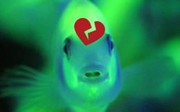 Đây là loài cá biết thất tình, thậm chí lên cơn đau tim nếu người yêu đi mất