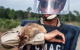 Chuyện lạ: Những con chuột to như chó con được người Campuchia dùng để dò mìn