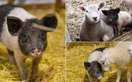 Cuộc đời ly kỳ của bé ỉn Alistair: Từ đứa con bị ghẻ lạnh đến nhận bầy cừu làm anh chị nuôi và vụt sáng thành ngôi sao nông trại