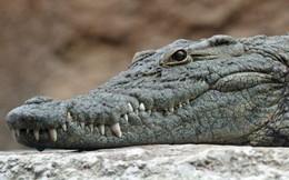 Nghiên cứu mới: Tổ tiên của cá sấu ngày nay là loài ăn chay