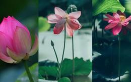 Hiếm có: Hoa sen ngủ yên trăm năm trong vườn vua nhà Thanh bất ngờ nở rộ khiến dân tình ồ ạt đến săn ảnh đẹp