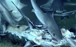 Cuộc sống nghiệt ngã dưới đáy biển: Cá mập chuẩn bị ăn xác cá kiếm thì bị con thủy quái từ đâu tới nuốt chửng