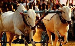 Cùng thi đua bò, một người chiến thắng, một người thất bại: Lý do đằng sau rất đáng ngẫm