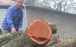Không đấu giá được, lô gỗ sưa 'trăm tỷ' giờ ra sao?