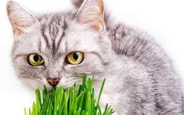 Bí ẩn được giải đáp: Tại sao đôi khi lũ mèo ăn cỏ?