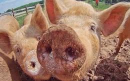 Bác sỹ phẫu thuật hàng đầu Anh quốc nói tim lợn có thể cấy ghép cho con người
