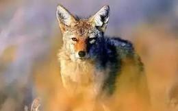 Nhốt con sói săn được ở ngoài trong đêm bão, hôm sau, người đàn ông kinh ngạc trước cảnh tượng nhìn thấy