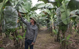 Lão nông trồng chuối kiếm 10 tỷ/năm, sắm ôtô sang chảnh thăm vườn cho tiện