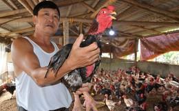 Hết thời gà lai Đông Tảo: Giá đã rẻ lại ế, càng nuôi càng lỗ nặng