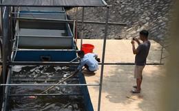 Cá Koi chết tại sông Tô Lịch có bị phá hoại?