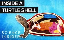 [Vietsub] Loài rùa thở bằng mông và những sự thật thú vị bên trong lớp mai của chúng