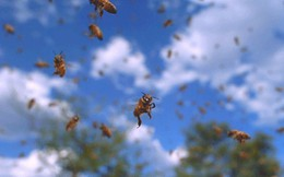 Nếu loài ong biến mất, nhân loại chỉ có thể tồn tại thêm được 4 năm?