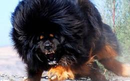 """Ngao Tây Tạng đấu với """"chó trụi lông"""", vừa đấu đã lăn ra chết: Lý do cảnh tỉnh nhiều người"""