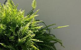 Bạn khỏi cần sợ không khí ô nhiễm khi biết trồng 1 trong 15 loại cây này trong nhà