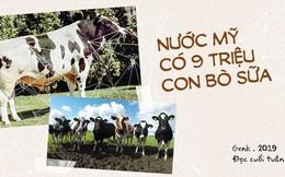 Đọc cuối tuần: Nước Mỹ có 9 triệu con bò sữa, nhưng tất cả chỉ là con cháu của 2 con bò đực