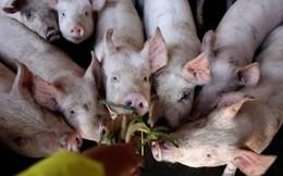 """Bloomberg: Dịch tả lợn hoành hành khắp Đông Á, tại sao chỉ riêng Triều Tiên """"thoát nạn""""?"""
