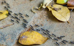 Tại sao kiến rất đông, nhưng cả tổ của chúng không bao giờ bị tắc đường, còn con người thì hơi tí là kẹt mặc dù số lượng ít hơn kiến?