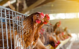 Một người đàn ông lỡ tay mua nhầm 1.000 con gà mái online