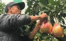 Ngắm vườn bưởi cảnh chơi Tết bạc tỷ ở Hà Nội, 40 triệu đồng/cây 120 quả