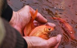 Làng nuôi cá chép đỏ tất bật trước ngày cúng ông Công ông Táo
