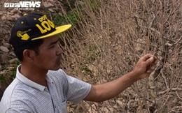 Hơn 1.000 gốc đào bị bụi làm đường phủ trắng: Nông dân được hỗ trợ 50 nghìn đồng/cây
