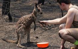 Báo cáo gây sốc về cháy rừng Australia: Hơn 1 tỷ động vật chết thảm trong lửa