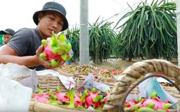 """Thanh long, dưa hấu tiếp tục phải """"giải cứu"""" trong dịch Corona: Nguyên nhân sâu xa khiến người nông dân Việt luôn bị động và bất lực khi nông sản rớt giá là gì?"""