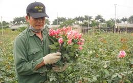'Thấm đòn' Covid-19, giá hoa 8/3 giảm một nửa, người trồng lỗ nặng