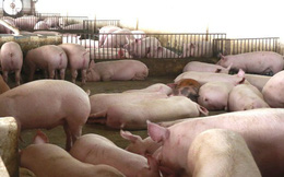 Thịt lợn quay đầu giảm mạnh ngay đầu vụ Tết