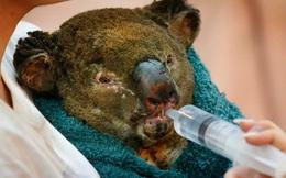 """Thương quá tự nhiên ơi: Hình ảnh xót xa cho thấy """"đại thảm họa"""" cháy rừng tại Úc đang khiến các loài vật bị giày vò kinh khủng đến mức nào"""
