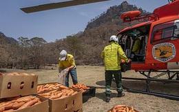 """Úc: """"Mưa"""" cà rốt và khoai lang cứu đói động vật bị cháy rừng"""