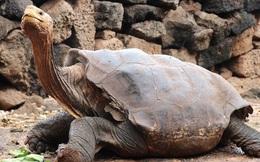 Cụ rùa trăm tuổi nghỉ hưu sau 43 năm miệt mài phối giống cứu cả loài khỏi tuyệt chủng, làm cha của hơn 800 đứa con