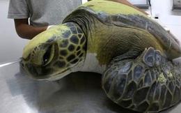 Một con rùa xanh quý hiếm phải uống thuốc xổ cả tháng trời mới thải hết rác nhựa trong bụng ra ngoài