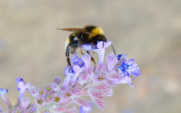 Biến đổi khí hậu đẩy loài ong vào nguy cơ tuyệt chủng, nhưng vẫn chưa quá muộn để nhân loại cứu chúng và cứu chính mình