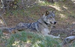 Chuyện buồn ngày Valentine: Cô sói lập kỷ lục đi 14.000 km để kiếm bạn tình, nhưng rồi lại chết trong cô đơn