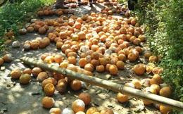 """Cam rụng la liệt, Hà Giang lên kế hoạch """"giải cứu"""" giúp nông dân"""