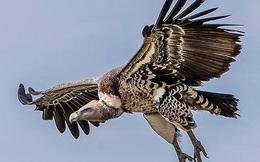 1001 thắc mắc: Không phải chúa tể đại bàng, loài chim nào bay cao nhất thế giới?