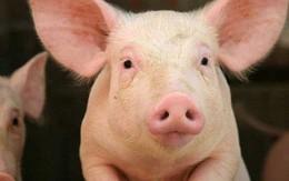 Luật cấm đánh đập trâu, bò, lợn và câu chuyện hội nhập của Việt Nam