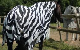 Các nhà khoa học cho ngựa thường mặc áo kẻ trắng đen để nghiên cứu xem tại sao lại có ngựa vằn trên đời