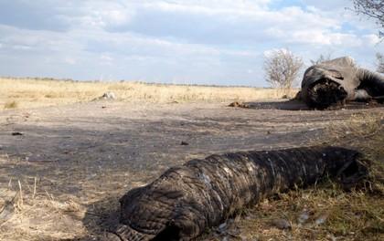 Vì sao tuyên bố xem xét lệnh cấm nhập khẩu ngà voi của Tổng thống Donald Trump lại gây tranh cãi?